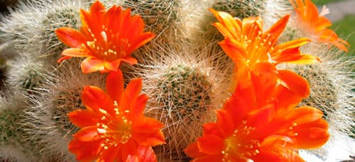 сонник кактус