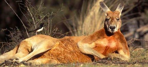 сонник кенгуру
