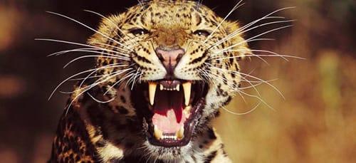сонник леопард нападает