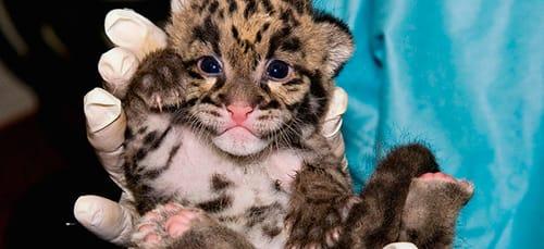 к чему снится ручной леопард