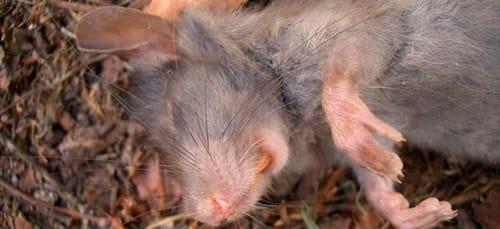 к чему снятся мертвые мыши