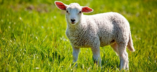 сонник овца