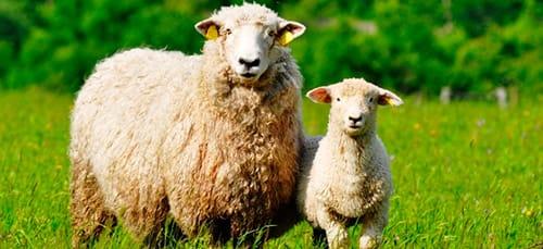 Сонник овца к чему снится овца во сне
