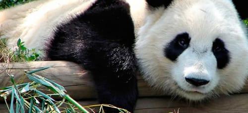 сонник панда
