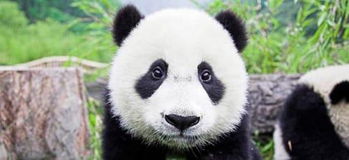 к чему снится панда