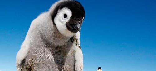 Сонник пингвин к чему снится пингвин во сне