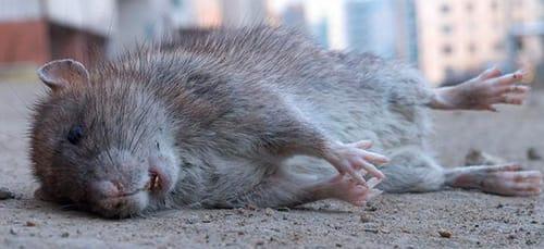 сонник дохлые крысы