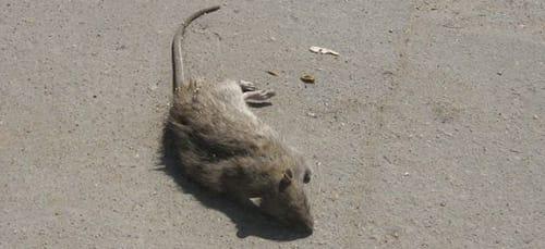 к чему снится дохлая крыса