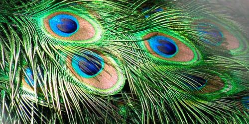сонник перья павлина