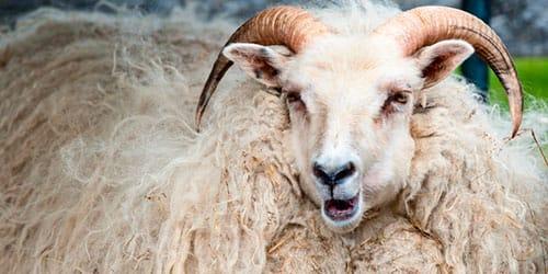 к чему снится большой белый баран