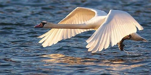 к чему снится белый лебедь