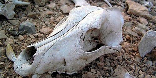 к чему снится череп животного