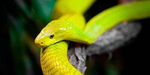 сонник желтая змея