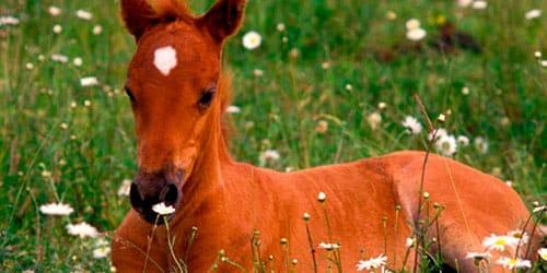 сонник рыжий жеребенок