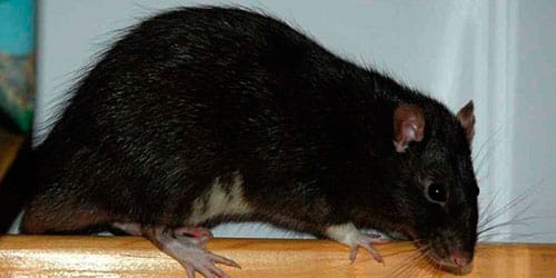 сонник крыса черная