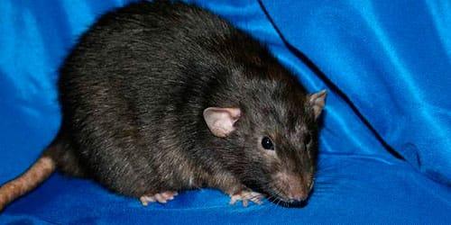 черная крыса во сне
