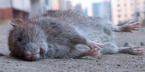сонник мертвая серая крыса