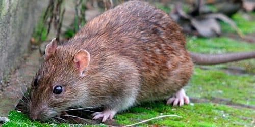 к чему снится серая крыса