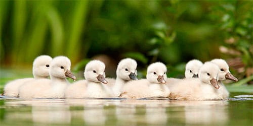 к чему снятся маленькие лебедята