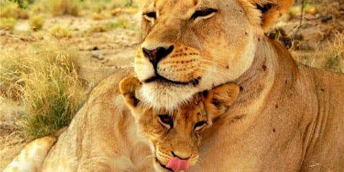 к чему снится львица