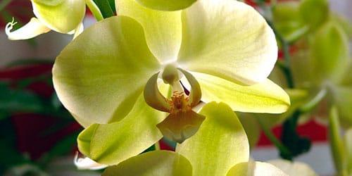 к чему снится желтая орхидея
