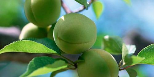 незрелые персики во сне