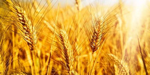 сонник пшеница