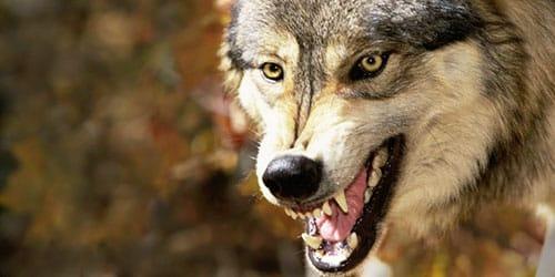 сонник волк нападает