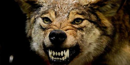 к чему снится волк нападает