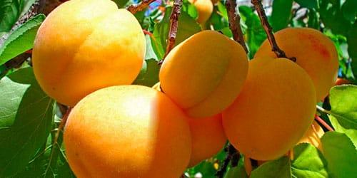 сонник абрикосы