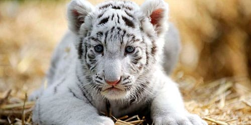 сонник белый тигренок