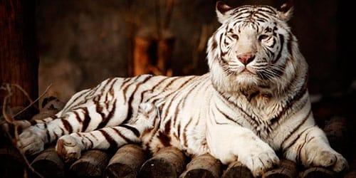 к чему снится белый тигр