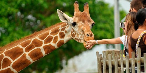 к чему снится кормить жирафа
