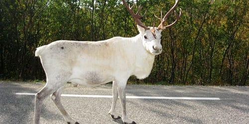 к чему снится белый олень