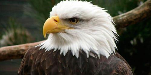 сонник орел