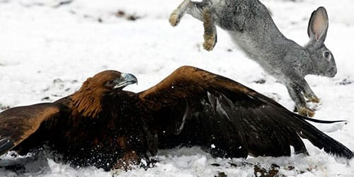 к чему снится раненный орел