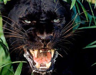 Пантера черная