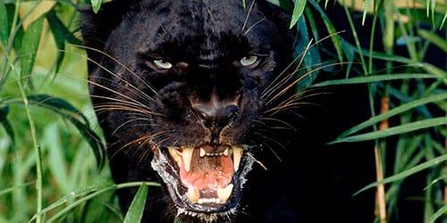сонник пантера черная