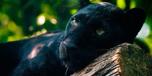 к чему снится пантера черная