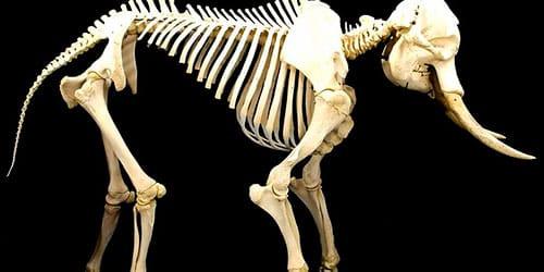 скелет слона во сне