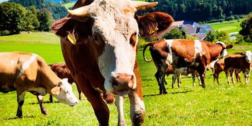 стадо коров во сне