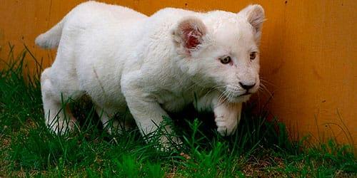 к чему снится тигренок альбинос