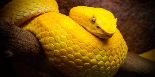 к чему снится желтый удав
