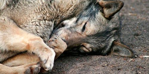 к чему снится умершая собака