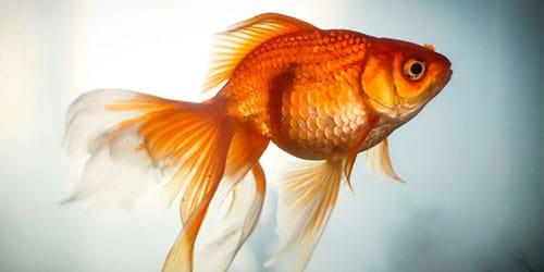 Сонник золотая рыбка к чему снится золотая рыбка во сне