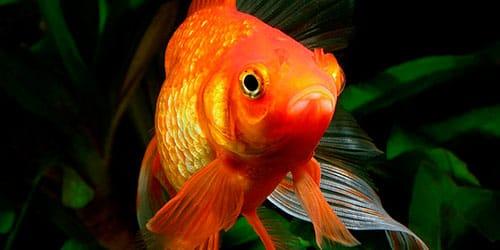 золотая рыбка во сне