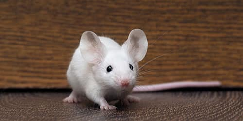 К чему снится белая мышь?