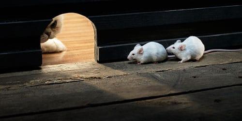 к чему снится белая мышь
