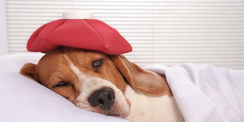 сонник больная собака