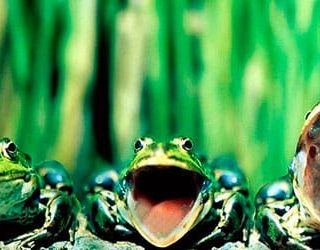Много лягушек